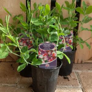 Sweet Pea 'Heritage Mix' (9cm pot)