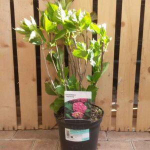 Hydrangea macrophylla 'Hamburg'