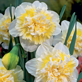 Narcissus 'Ice King' (Double Daffodil)