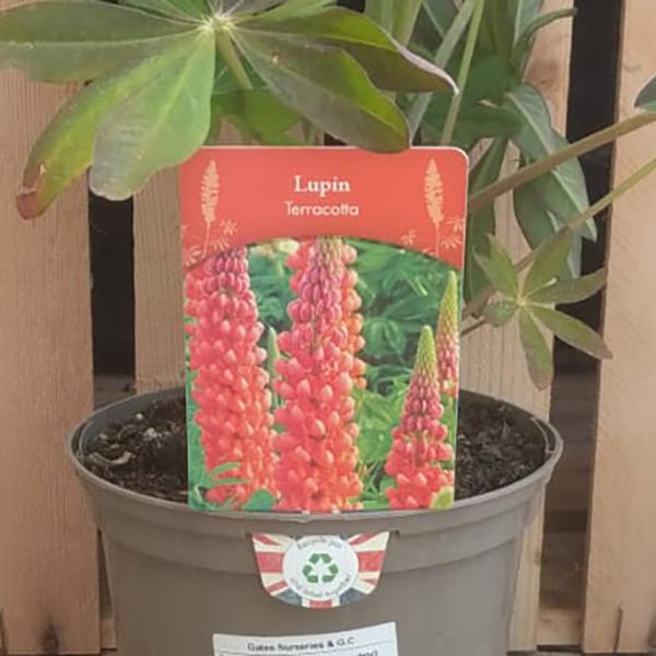 Lupin 'Terracotta' (2 litre pot)