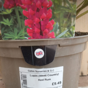 Lupin 'Red Rum' (2 litre pot)