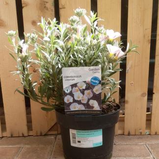 Convolvulus cneorum shrubby bindweed