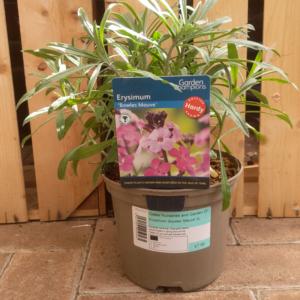 Erysimum 'Bowles's Mauve'(2 litre pot) - mauve wallflower