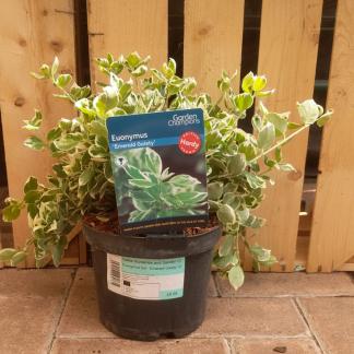 Euonymus fortunei 'Emerald Gaiety' (2 litre pot)