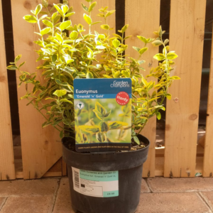 Euonymus fortunei 'Emerald 'n' Gold' (2 litre pot)