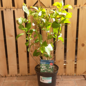 Hydrangea macrophylla 'White Wave' (3 litre pot)