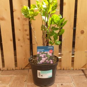 Hydrangea macrophylla 'Nikko Blue' (3 litre pot)