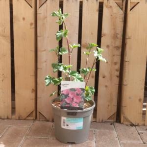 Lavatera olbia 'Rosea' (3 litre pot)