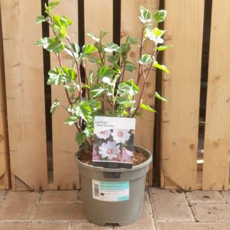 Lavatera 'Baby Barnsley' (3 litre pot)