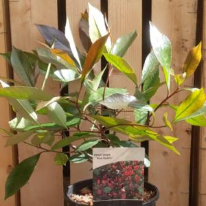 Photinia × fraseri 'Red Robin'