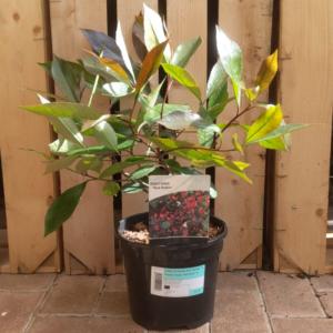 Photinia × fraseri 'Red Robin' (3 litre pot)