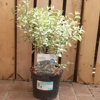 Pittosporum tenuifolium 'Silver Queen' (3 litre pot)