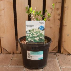 Hydrangea 'Grandiflora' 3 litre pot