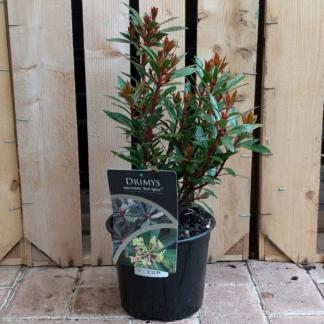 Drimys lanceolata 'Red Spice'