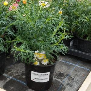 Argyanthemum (13cm pot)