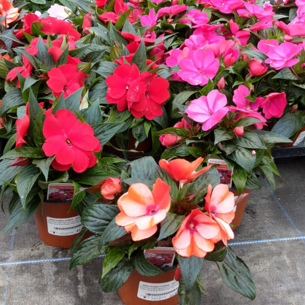 Collection of Impatiens 'New Guinea' hybrid