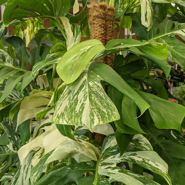 Beautiful rich green leaves with creamy-white splashes