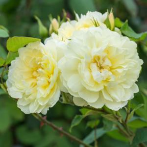 David Austin Imogen (Austritch) English Shrub Rose (6 litre pot)