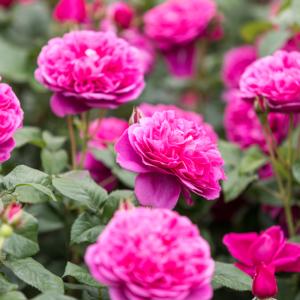 David Austin James L Austin® (Auspike) English Shrub Rose (Images courtesy of David Austin Roses)