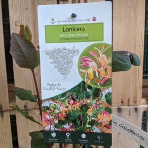 Honeysuckle – Lonicera purpusii fragrantisima