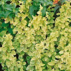 Lonicera japonica 'Aureoreticulata' 3L