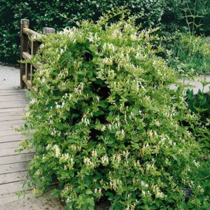 Honeysuckle - Lonicera japonica 'Halls Prolific' 3L