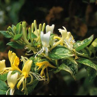 Lonicera japonica 'Horwood Gem' 3L