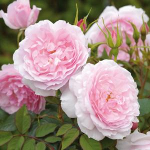 David Austin Roses Lady Salisbury 6L Premium Potted Rose