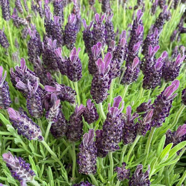 Lavandula stoechas Anouk French Lavender