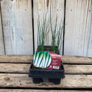 Leek Plant Jolant 12 Pack