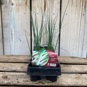 Leek Tornado Plants 12 Pack