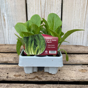 Lettuce Plant Cut and Come Again 12 Pack