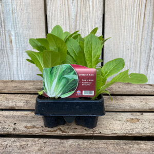 Lettuce Plant - Cos (12 Pack)