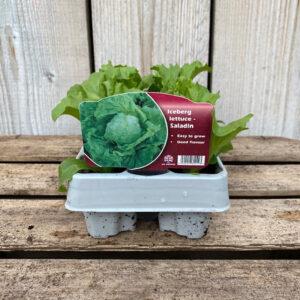 Lettuce Plant Iceberg Saladin 12 Pack