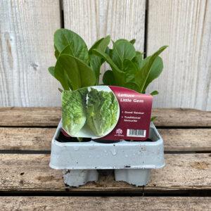Lettuce Plant Little Gem 12 Pack