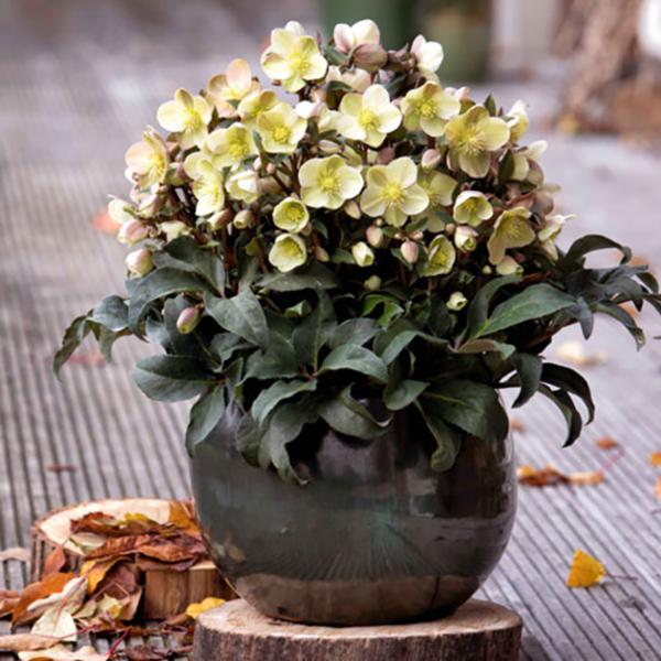 Plant Helleborus 'HGC Marlon' in a pot