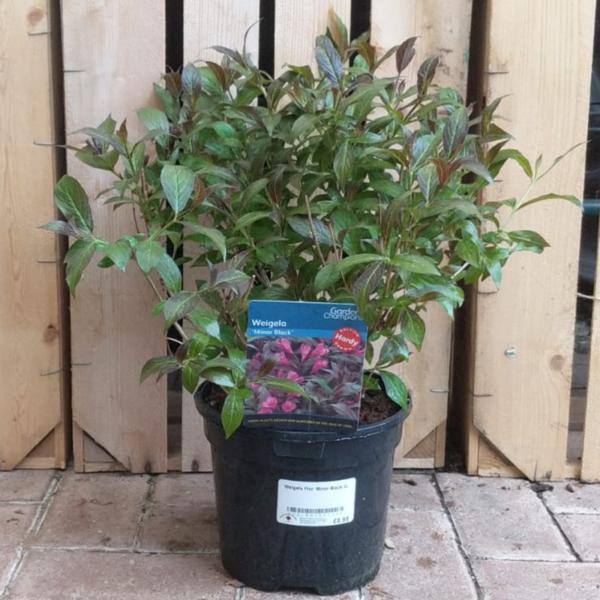 Weigela florida 'Minor Black' (3 litre pot)