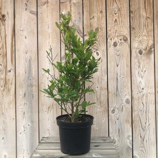Magnolia 'Leonard Messei' 7.5 litre pot