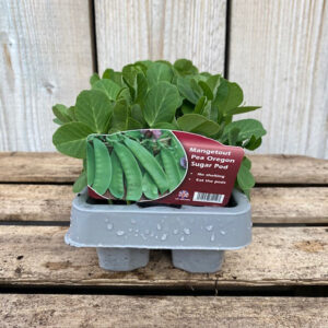 Mangetout Pea Oregon Sugar Pod 12 Pack