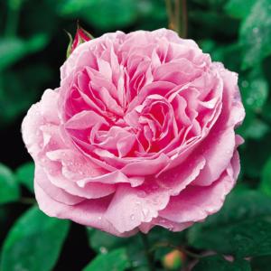 David Austin Roses Mary Rose 6L Premium Potted Rose
