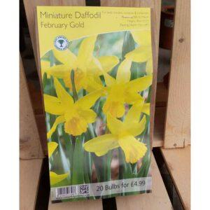 Miniature Daffodil 'February Gold' (20 Bulbs)