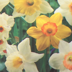 Narcissus mix (Mixed Daffodil)