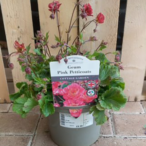 Geum 'Pink Petticoats'