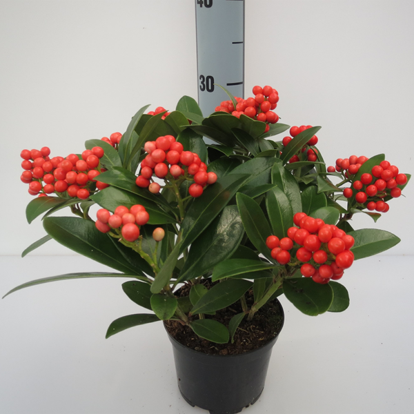 Skimmia japonica 'Temptation' (Gold Series) - red berries