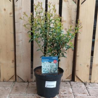 Osmanthus × burkwoodii (3 litre pot)