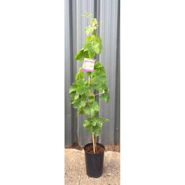 Grapevine Vitis vinifera 'Riesling'