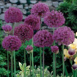 Allium 'Purple Sensation' (Aflatunense Allium)