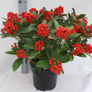 Skimmia japonica 'Pabella' (Gold Series) 23cm pot (Height: 55cm)