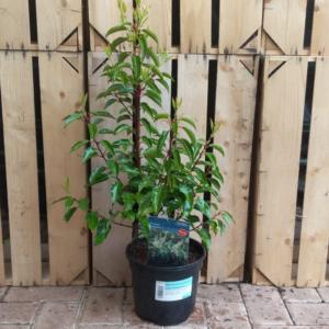 Prunus lusitanica (3 litre pot)