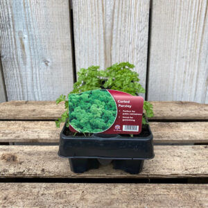 Parsley Plant Curled Leaf 12 Pack
